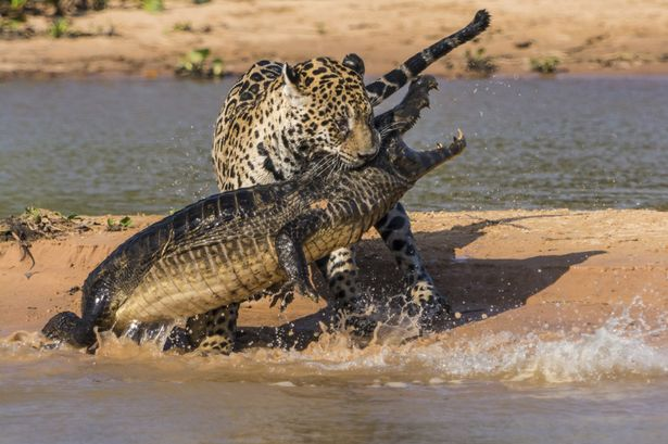 Jaguar-attacks-a-Yacare-Caiman-2252805